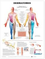 Dermatomes Anatomical Chart 3rd